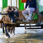 竹富島(西表島)の水牛と牛車